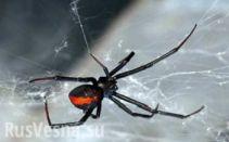 Схватка опасной ехидны и ядовитого паука (ВИДЕО)