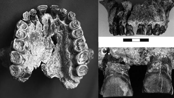 Древнего правшу нашли по зубам