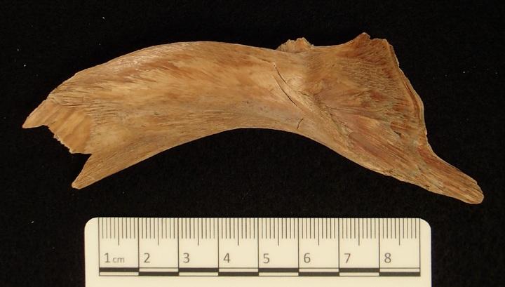ДНК древней трески помогла восстановить историю рыбного промысла викингов