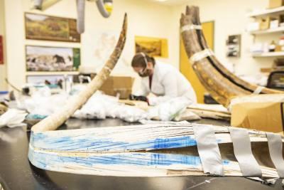 Ученые реконструировали географию передвижений мамонта по его бивню